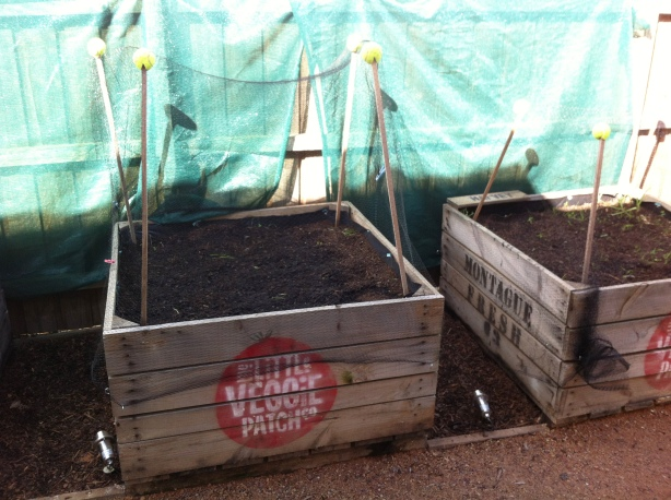 Veggie patch - lettuce waiting to grow
