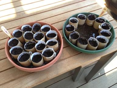 Growing seedlings using toilet rolls